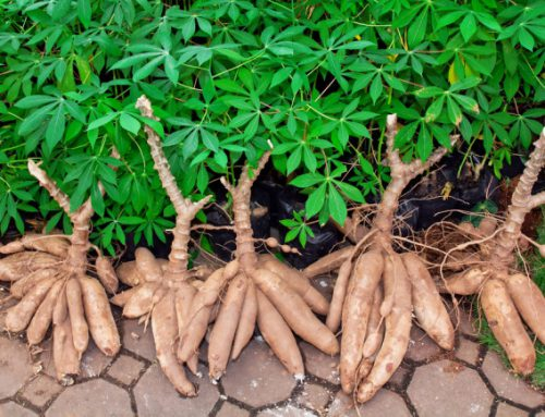 Cassava, March's Shrub